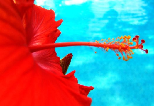 red hibiscus bloom