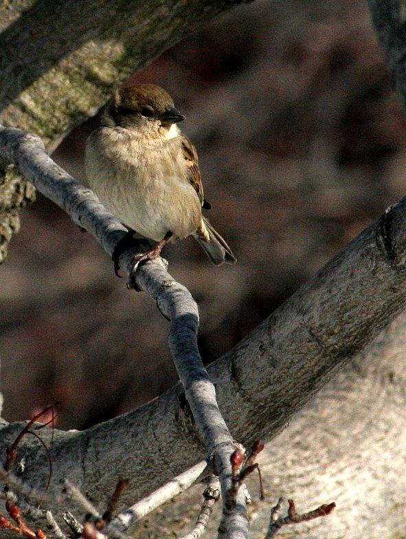 little-sparrow