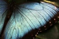 blue morpho wing