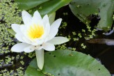 waterlily love