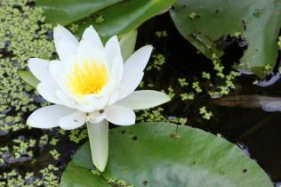 waterlily love