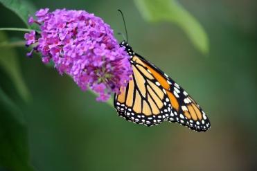 monarch 003