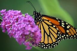monarch 006