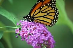 monarch 013