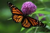 monarch 019