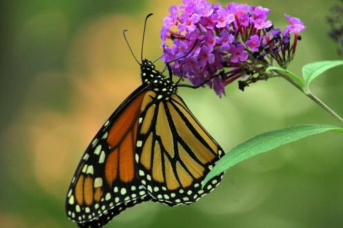 monarch 026